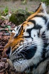 Gros plan sur le Tigre de Sibérie dans un parc zoologique