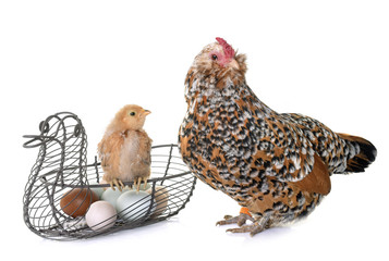 chick, chicken and eggs