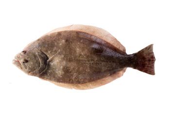 Southern Flounder (Paralichthys lethostigma). Left-eyed flounder, up side. Isolated on white background