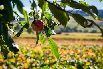 pomme sur l'arbre