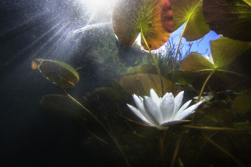 Wall Murals Water lilies Beautiful white Water lily (nuphar lutea) in the clear pound. Underwater shot in the lake. Nature habitat. Underwater landscape.A stack of water lilys seen from underwater.