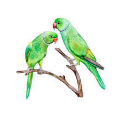 Rose-ringed parakeet. ring-necked parakeet. Green parrot isolated on white background. Watercolor. Illustration. Template. Handmade. Clipart
