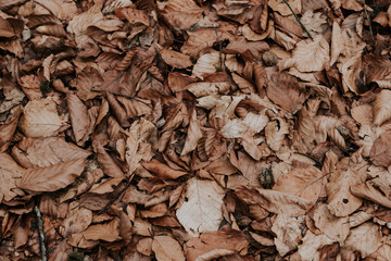 Background texture of dried brown withered leaves