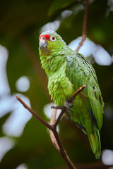 Crimson-fronted or Finsch's Parakeet, neotropical green parrot with red cap, natural to Nicaragua, Costa Rica and western Panama, perched on twig against rainforest background. Vertical photo.