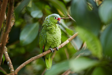 Photo sur Toile Perroquets Wild Crimson-fronted or Finsch's Parakeet, neotropical green parrot with red cap, natural to Nicaragua, Costa Rica and western Panama, perched on twig among leaves in rainforest. Wild animal.