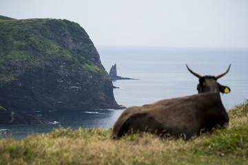 Cows  regard the ocean