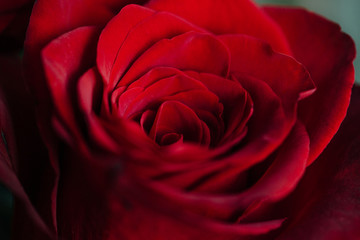 Bud of a red delicate rose. Valentine macro background wallpaper.