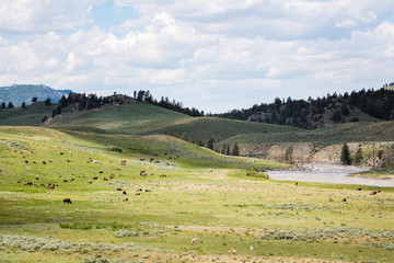 American Bison on Wild Animals on the Open Plains of Yellowstone National Park