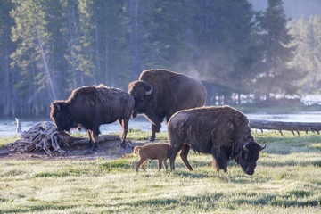 Genetically Pure American Bison - Yellowstone National Park.