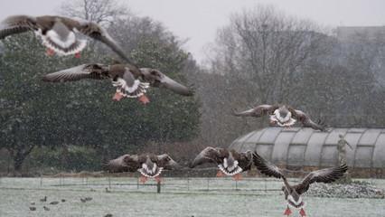 Vol oies cendrées sous la neige, Parc de La Tête d'Or, Lyon
