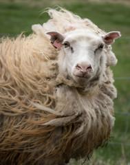 Wind Swept Sheep