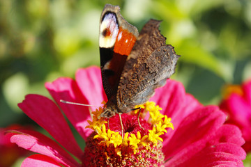 Macro of butterfly peacock eye collecting nectar on the zinnia