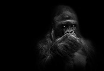 Male gorilla leader.