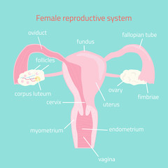 Female reproductive system. Vector hand drawn illustration.