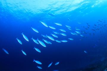 Sardines fish underwater ocean