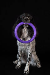 Beautiful female spaniel holds a ring in his teeth on black background