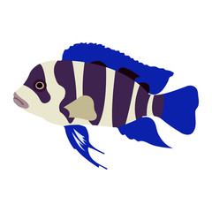 "Isolated colorful ""Bumphead Cichlid"" fish (or Cyphotilapia Frontosa) clip art - Eps10 vector graphics and illustration"