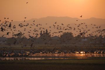 鶴の越冬 出水平野