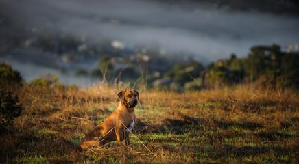 Rhodesian Ridgeback dog outdoor portrait sitting in field overlooking a foggy San Francisco