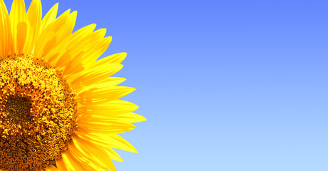 Wall Mural - Sunflower on blue sky background