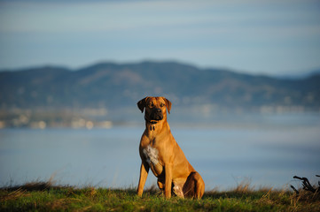 Rhodesian Ridgeback dog outdoor portrait sitting on hill overlooking water and mountains