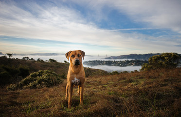 Rhodesian Ridgeback dog outdoor portrait with San Francisco in the background