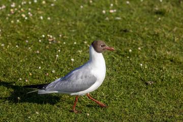 Black Headed Gull, Poole, Dorset, England