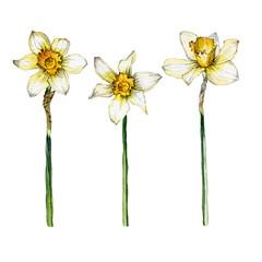 Botanical illustration of a daffodil flower set on white background