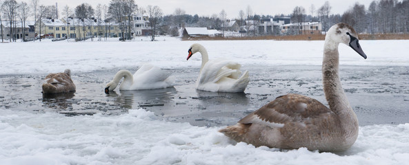 A flock of swans freezes from the cold on a winter ice lake near village.