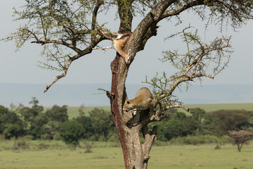 a leopard descends from a tree on the grasslands of the Maasai Mara, Kenya