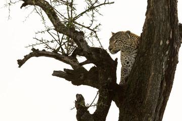 a leopard in a tree with her kill in the Maasai Mara, Kenya