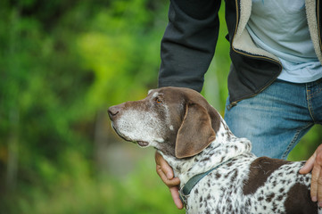 Older German Shorthair Pointer dog outdoor portrait with man holding and petting