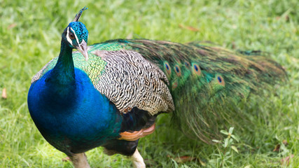 Peacock from French Guyana.