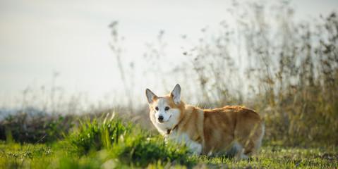 Welsh Pembroke Corgi dog outdoor portrait in field