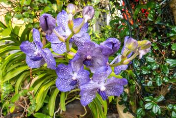 Lila Blume Orchideen