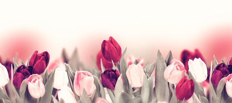 Tulip colorful flower panoramic border on white