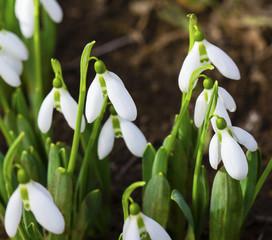Beautiful snowdrop flowers closeup