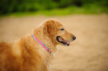 Golden Retriever dog outdoor portrait against beach sand