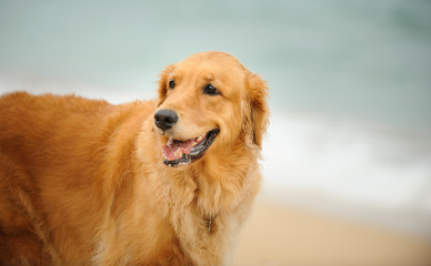 Golden Retriever dog outdoor portrait by the shore
