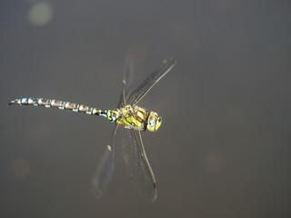 Eine gelbe Libelle fliegt über die Wasseroberfläche.