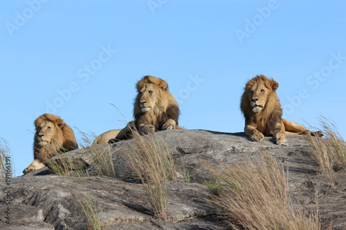 Male lions on the rocks in Serengeti National park Tanzania