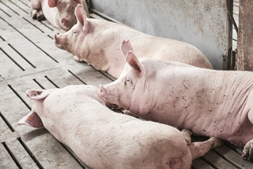 Young pigs in a stable