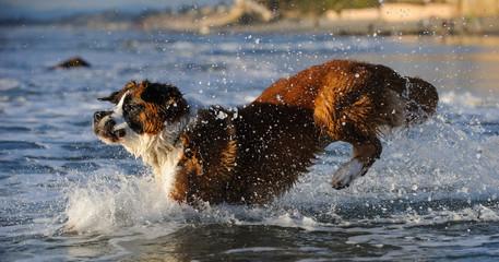 Saint Bernard dog outdoor portrait jumping into ocean water