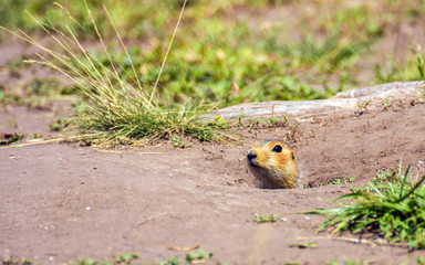 Portrait of a gopher sitting at the hole