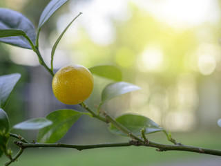 orange,kumquat on tree sour fruit and favorable thing for house decorate