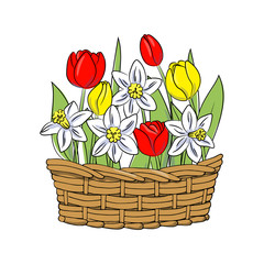 vector color red yellow tulip white daffodil narcissus flower in basket