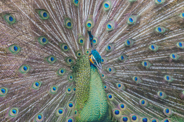 beautiful peacock with feathers out