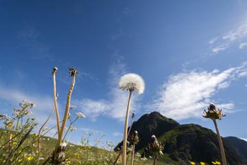 flower snapdragon in protected park area in Eggum in Lofoten in Norway