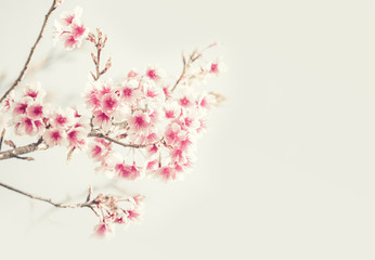Soft focus Cherry Blossom or Sakura flower on nature background Wall mural