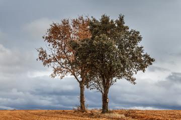 Roble y encina sobre campo de cultivo. Comarca de la Maragatería. Luyego de Somoza, León, España.